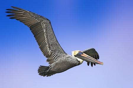 Brown Pelican in flight. Latin name- Pelicanus accidentalis.