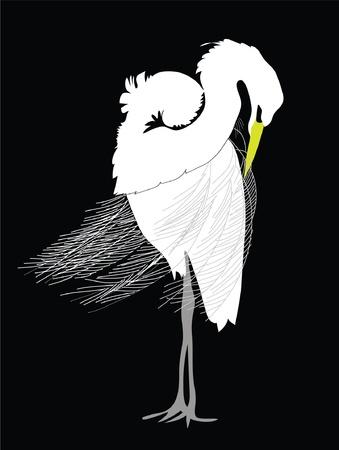 egret: Great Egret grooming, black and white illustration.  Latin name - Ardea alba.