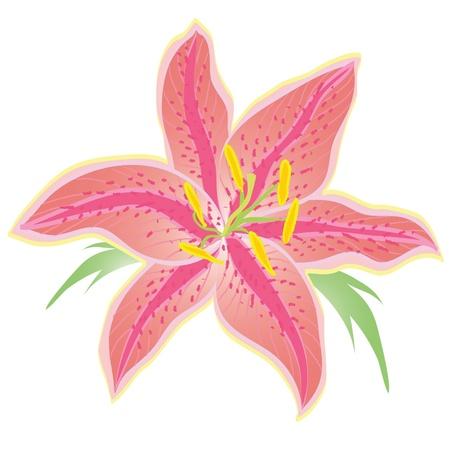Pink spottel petals lily