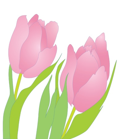 Pair of pink tender tulips on white