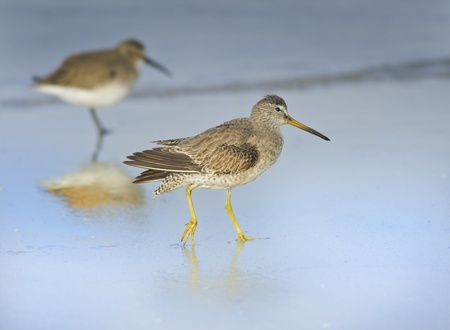 A Short-billed Dowitcher is on his early morning walk. Latin name - Limnodromus griseus. Reklamní fotografie