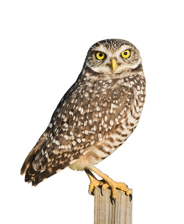 birds eye: Burrowing Owl isolated on white.Latin name - Athene cunicularia.