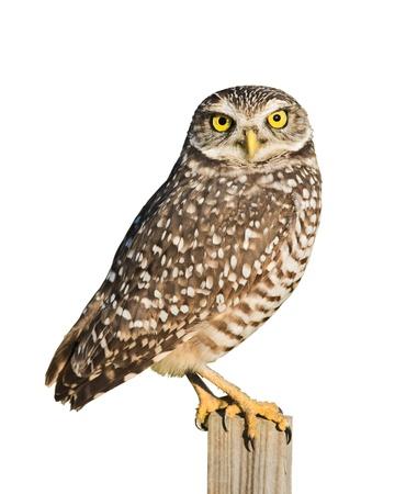 athene: Burrowing Owl isolated on white.Latin name - Athene cunicularia.