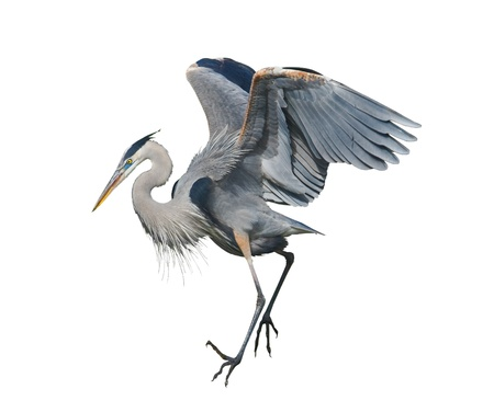 Great Blue Heron dancing, isolated on white. Latin name - Ardea herodias. Archivio Fotografico
