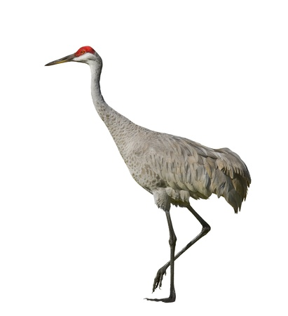 birds eye: Sandhill crane , isolated on white. Latin name - Grus cannadensis. Stock Photo