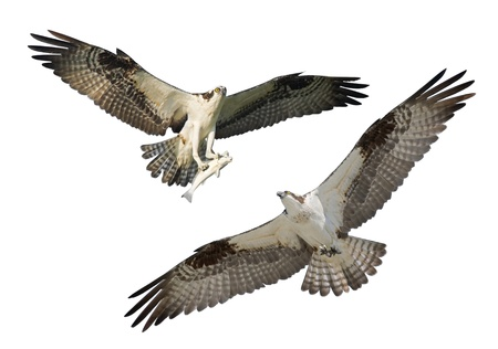 talons: Two Ospreys in flight, isolated on white. Latin name - Pandion haliaetus.