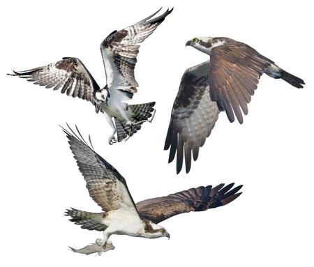 curve claw: Three Ospreys in flight, isolated on white. Latin name - Pandion haliaetus.