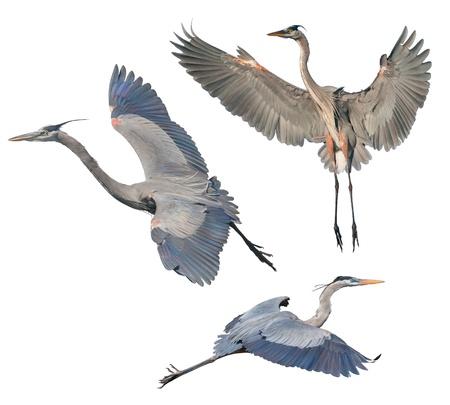 airone: Great Blue Heron, isolato su bianco. Nome latino - Ardea heroida.