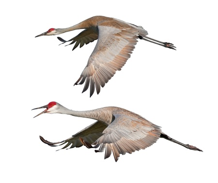Two Sandhill Cranes, in flight, isolated on white. Latin name - Grus cannadensis. photo