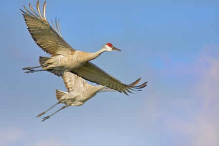 Two Sandhill Cranes in the morning flight. Latin name - Grus cannadensis. Stock Photo - 10604338