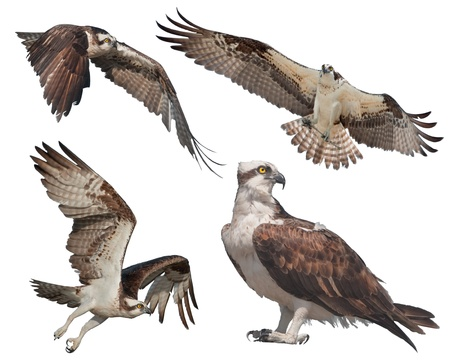 talons: Four Ospreys isolated on white. Latin name - Pandion haliaetus. Stock Photo