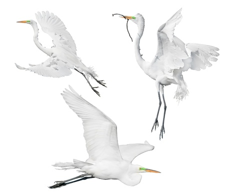 Three Great Egrets in flight,  isolated on white. Latin name - Ardea alba. Stock Photo
