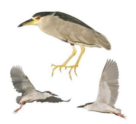 Black-crowned Night - Herons.  Latin name - Nycticorax nycticorax.