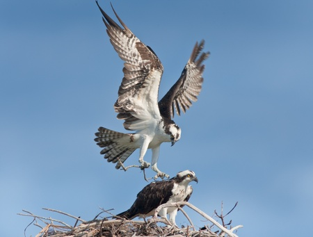 spread eagle: Osprey male with building material landing  on nest, where female waiting for him.  Latin name - Pandion haliaetus. Stock Photo
