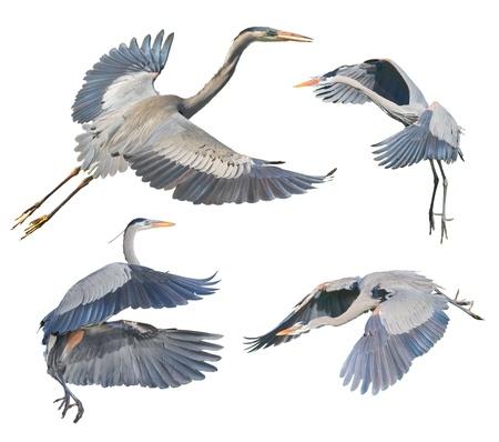 airone: Grandi aironi blu in volo, isolato su bianco. Nome latino - Ardea heroida.