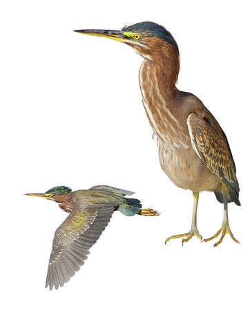 stocky: Green Heron still and flying, isolated on white. Latin name - Butorides virescens.