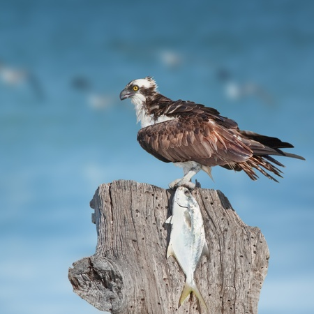 curve claw: Ospreys with catch on sea  shore. Latin name - Pandion haliaetus.