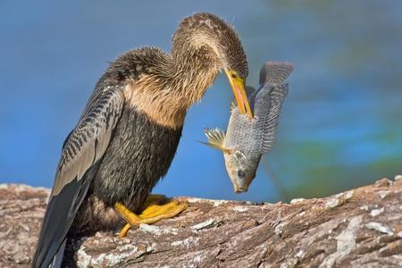 feathered: Anhinga with catch in the beak. Latin name - Anhinga anhinga.