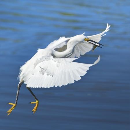 Flying Snowy Egret with catch.Latin name - Egreta tula. Stock Photo - 11714861