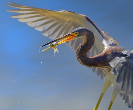 ding: Tri-colored heron with catch, close up. Latin name - Egretta tricolor.