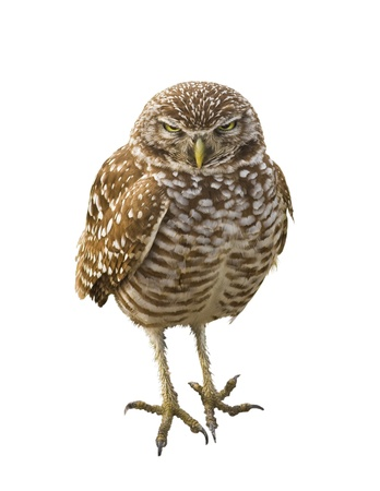 athene: Burrowing Owl. Latin name - Athene cunicularia.