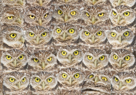 Burrowing Owls  group portrait. Latin name - Athene cunicularia. photo