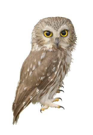 civetta bianca: Northern Saw-whet gufo. Molto vicino, profondit� di campo. Nome latino - Aegolius acadicus. Archivio Fotografico