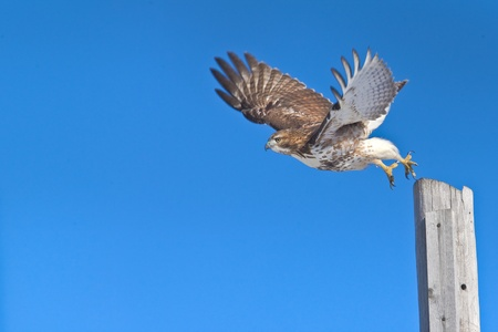 curved leg: Red-tailed hawk in flight, chasing a prey.  Latin name - Buteo jamaicensis. Copy space for additions