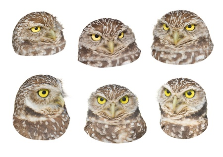 spot the difference: Burrowing Owl  heads with funny face expressions, isolated on white. Latin name - Athene cunicularia. Stock Photo
