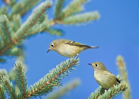 mosquitos: Ruby-crowned Kinglets in the pine tree. Latin name - Regulus calendula. Stock Photo