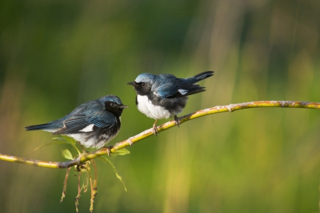Black-Throated Blue Warblers perching on branch. latin name - Dendroica caerulescens. With copy space on right. Stock Photo
