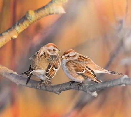 American Tree Sparrow, couple. Latin name - Spizella Arborea.