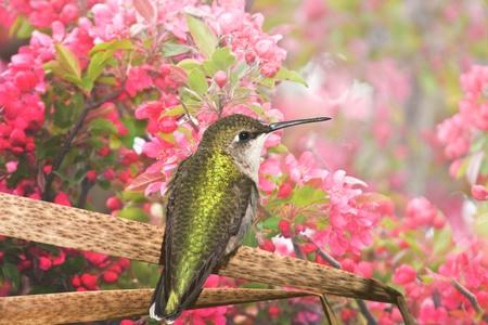 Humming bird enjoying apple blossom. Latin name - Archilochus colubris.