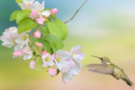 Hummingbird hovering around apple blossom. Latin name - Archilochus colubris.