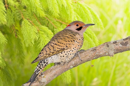 Northern Flicker perching on dry log in depth of woods Latin name - Colaptes auratus