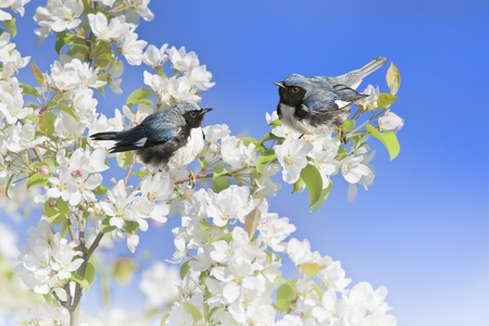warblers: Black-Throated Blue Warblers perching apple blossom tree branch.Latin name - Dendroica caerulescens.Focus on bird. Stock Photo