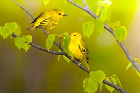 warblers: Yellow warblers. Latin name - Dendroica petechia.