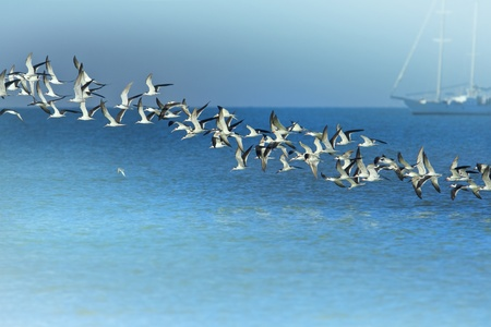 gulf of mexico: Black Skimmers flock, rising above Gulf of Mexico  Latin name -  Rynchops niger Copy space for your additions