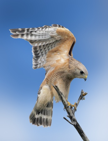 shouldered: Red-shouldered Hawk stretching his wings  Latin name-Buteo lineatus  Stock Photo