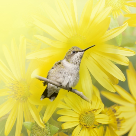 Hummingbird perching in yellow flowers  Latin name - Archilochus colubris