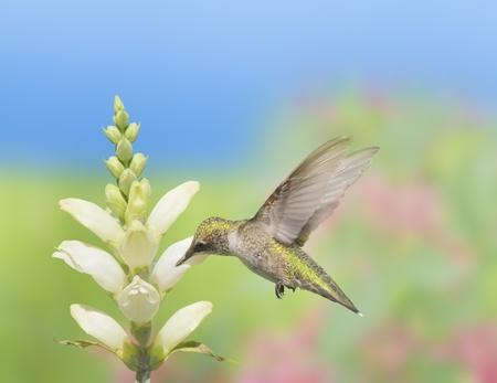 find: Hummingbird feeding on Turtlehead, latin name - Chelone glabra, white wild flower nectar. Latin name - Archilochus colubris. Stock Photo
