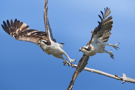 curve claw: Ospreys  in flight  Latin name - Pandion haliaetus  Stock Photo
