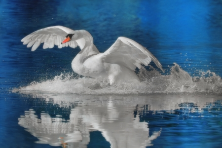 Mute swan landing   Latin name -  Cygnus olor  photo