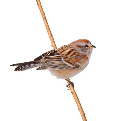 beack: American Tree sparrow. Snow on beack. Latin name - Spizella arborea. Isolated on white.
