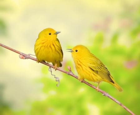 Yellow warblers perching on branch, talking. Latin name - Dendroica petechia. photo