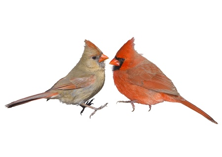 Northern Cardinal, male and female  Latin name - Cardinalis cardinalis Isolated