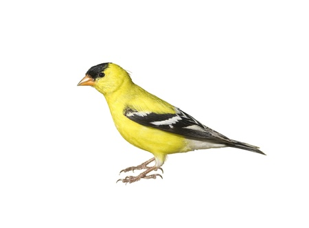 bajo y fornido: Goldfinch americano, nombre masculino, aislado de Am�rica - Carduelis tristis