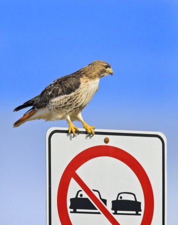 curve claw: Traffic controller  Red-tailed Hawk perching on traffic sign  Latin name-Buteo jamaicensis