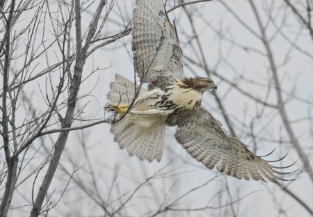 talons: I am out of here  Red-tailed Hawk   Latin name-Buteo jamaicensis