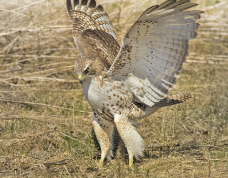 feathered:  Red-tailed Hawk, juvenile, attacking a snake   Latin name-Buteo jamaicensis
